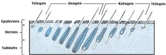 IPL förstör effektivt det hår som befinner sig i den aktiva växt-fasen (anagen).